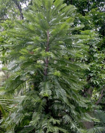 Wollemi Pine.The Wollemi Pine was found near Sydney, Australia in 1994.One of the world's oldest and rarest trees.The Wollemi Pine belongs to the 200 million year old Araucariaceae family. Related to:Kauri, Norfolk Island, Hoop, Bunya and Monkey Puzzle pines