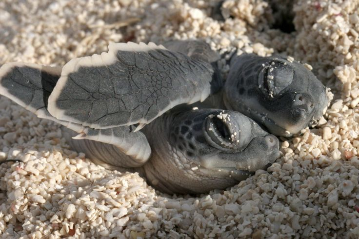 two baby sea turtles snuggling at Dry Tortugas National Park in Florida. Five different types of sea turtles are found in the waters of south Florida, and Dry Tortugasis famous for the abundance of sea turtles that annually nest in the area.