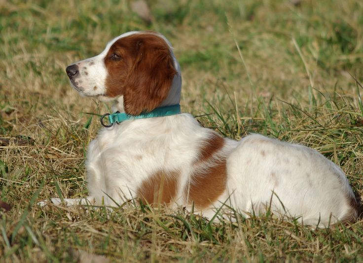 Our boy Toir - CH Rossmore Thunder N Lightnin as a pup.