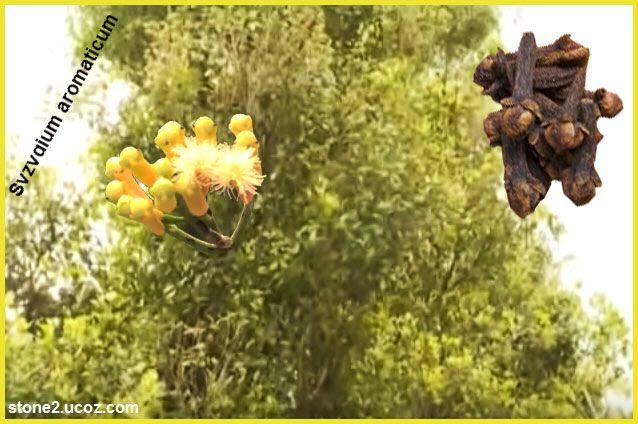 انواع القرنفل او السيز ية او القرنفلية Syzygium قائمة نبات عطري النبات معلومان عامه معلوماتية Grapes Fruit Tri