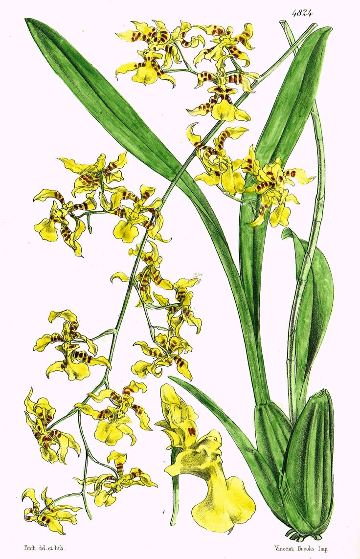 Curtis warnes butterfly chairs michigan artists gallery - Curtis S Botanical Magazine Yellow Orchid Lithograph 1846