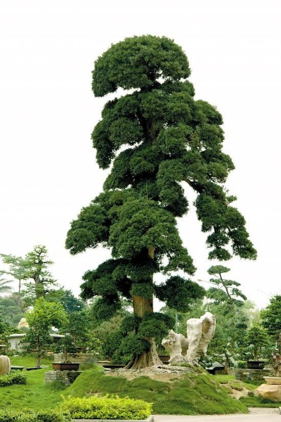 PODOCARPO,PODOCARPUS MACROPHYLLUS EN NAGATO,JAPÓN.