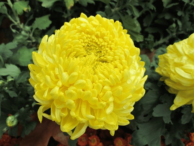 What is Yellow chrysanthemum meaning flower