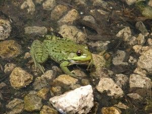 Northern Green Frog in High Park