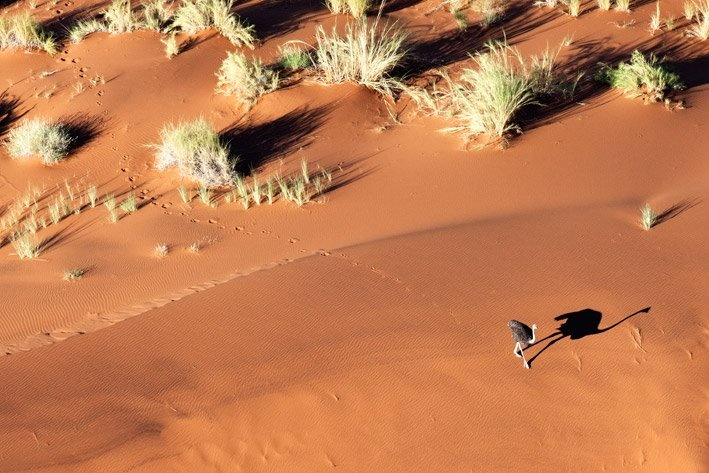 An lone Ostrich walks the burnt orange dunefields of the Namib Naukluft, Namibia.