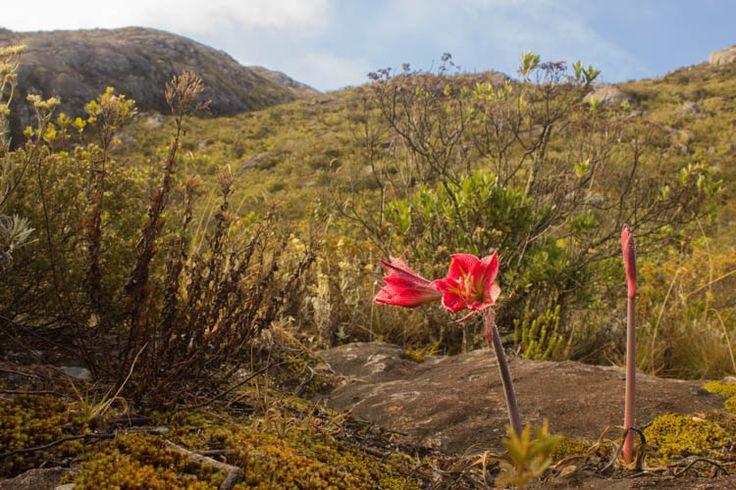 Flores Hippeastrum só ocorrem em campos de altitude do sudeste. Foto: Moises Lima