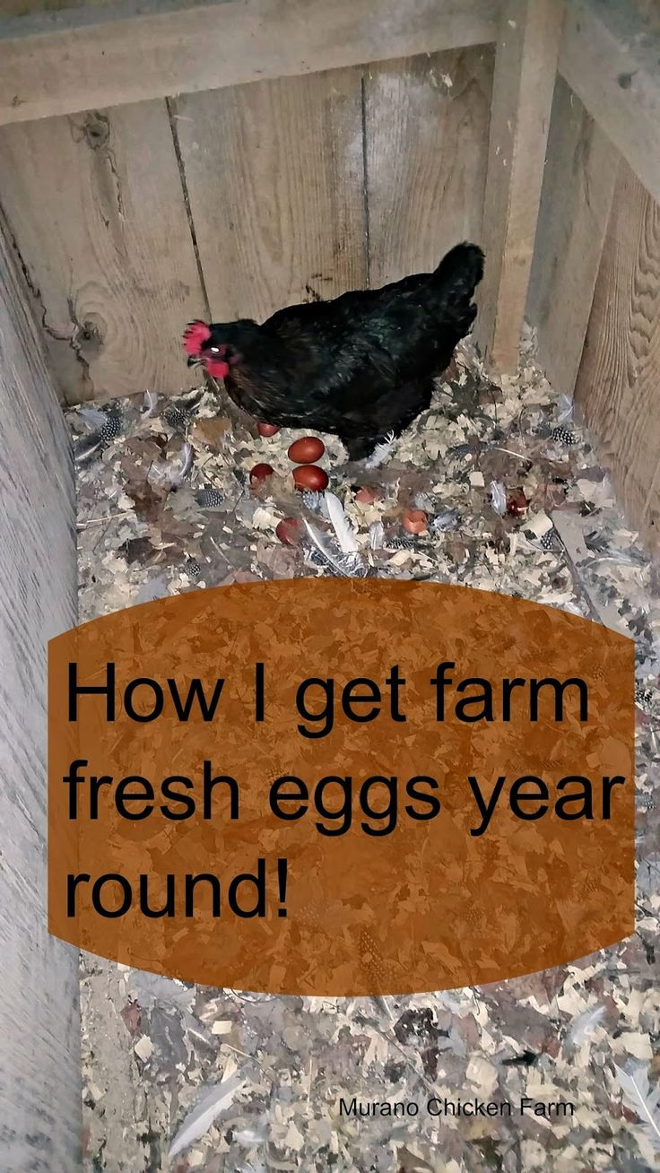 How I get fresh eggs year round::