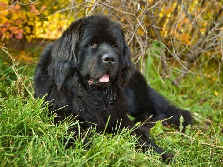 Neufundländer: Der große Schlittenhund wiegt rund 70 Kilo — Bild: Shutterstock / Larisa Lofitskaya    www.einfachtierisch.de