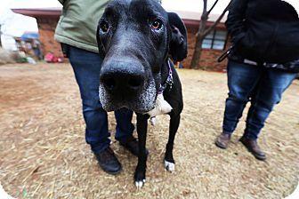 Lubbock, TX - Great Dane Mix. Meet Zoe, a dog for adoption. http://www.adoptapet.com/pet/17311582-lubbock-texas-great-dane-mix