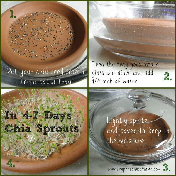 Chia is wonderfully good for you and it's easy to grow chia sprouts but Is sprouting chia seed worth the effort? Learn about growing and using chia sprouts
