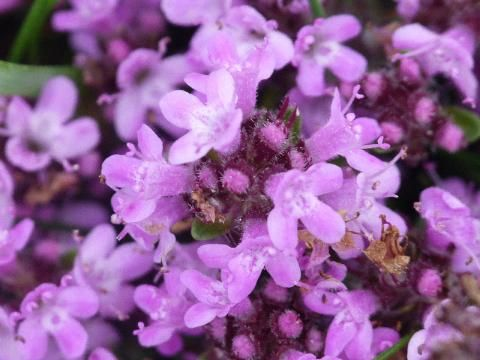 Wild Thyme: what a nightmare | The Nature of Dorset