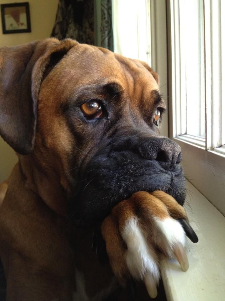 handsomedogs:  This is my handsome Boxer, Charlie. He's super handsome and pretty dignified as well.