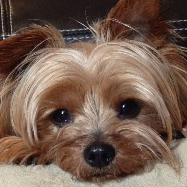 In case I go with a Yorkie!! ~ 5 Problems Only Yorkshire Terrier Owners Will Understand