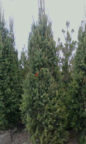 Columnar Norway Spruce A Great Evergreen Tree For Narrow