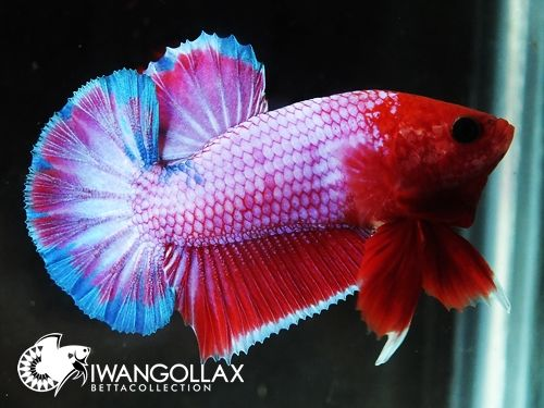 17 best images about koi goldfish bettas on pinterest for Can bettas live with other fish