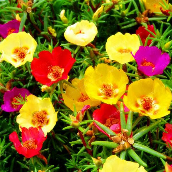 Mixed Color Moss-Rose Purslane Double Flower Seeds For Planting (Portulaca Grandiflora) Heat Tolerant easy growing 5