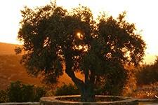 www.ReInspireGreece.com Antiparos | Agrilia Estate | Olive trees