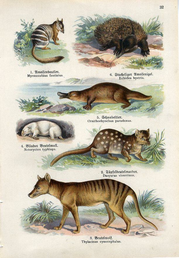 C1900 Australia Tasmanian Tiger Echidna Duckbill Print Lampert,