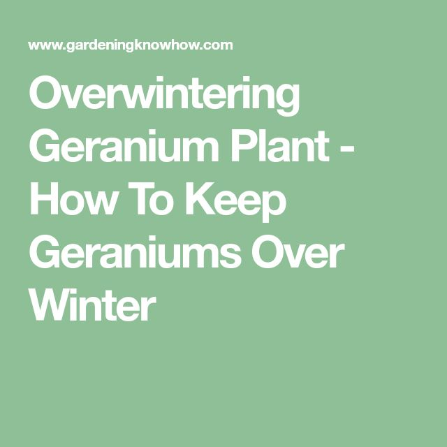 Overwintering Geranium Plant - How To Keep Geraniums Over Winter