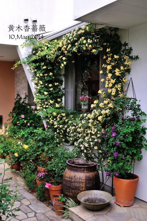 オベリスク仕立てのORカーディナル・ド・リシュリューを地植えに変更(2014年12月21日) - Change My Garden