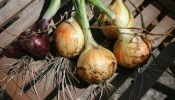 When and How to Harvest Onions #hydroponicsonions