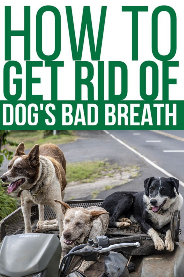 How to get rid of dog bad breath in 2020 bad dog breath