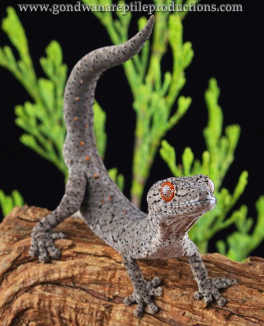 Eastern Spiny-tailed Gecko (Strophurus williamsi) | Flickr - Photo Sharing!