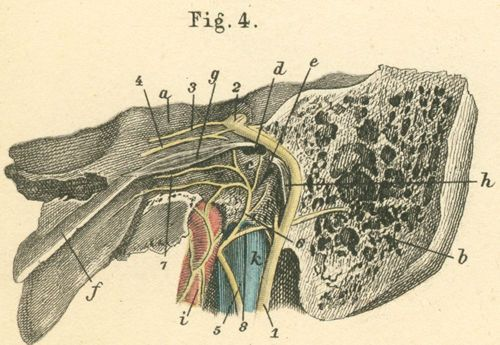 The left middle ear with the facial nerve in the facial canal.