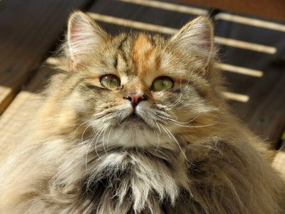 Siberian cat, Siberian cats,Siberian kitten,Siberian kittens,Siberian kittens for sale,Hypoallergenic kittens,Hypoallergenic cats,Hypoallergenic cat breeds,Siberian cats for sale,Siberian,Siberians,Russian Siberians,Cute Kittens,Cute kitten pictures,cats - Mystic Melody Siberians #hypoallergeniccatsbreeds