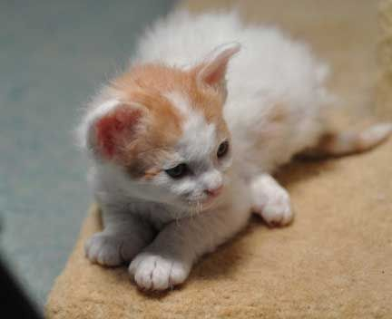 Laperm Kitten Pictures