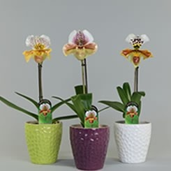 The Paphiopedilum is a funny looking orchid which will bloom for more then 3 months.