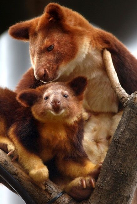 Many tree kangaroo species are incredibly rare and most are decreasing in number. These animals represent an interesting divergence in the evolution of Macropods—the family of marsupials that includes kangaroos and wallabies. Macropods were once all tree dwellers but millions of years ago they descended from the trees to live on the ground. The ancestors of tree kangaroos eventually headed back up into the foliage and they are now the largest tree-dwelling mammals in Australia.