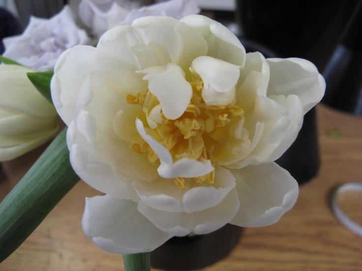 Double-flowering Tulip. www.scrimsflorist.com