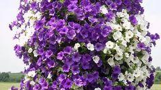 Практика выращивания петуний вывела такую формулу: большая емкость + регулярные подкормки достаточный полив + удаление отцветших цветков. Большая емкость для посадки. Корневая система у петунии …