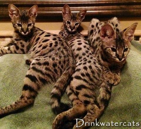 Savannah Cats For Sale In Pakistan