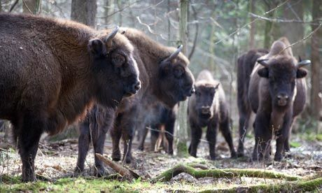 """Bison in Poland's Bialowieza Forest~ Yup I even traveled all the way here to say hello the to the cousins from their relatives in Yellowstone """"Niech Zyją żubry."""" ❤"""
