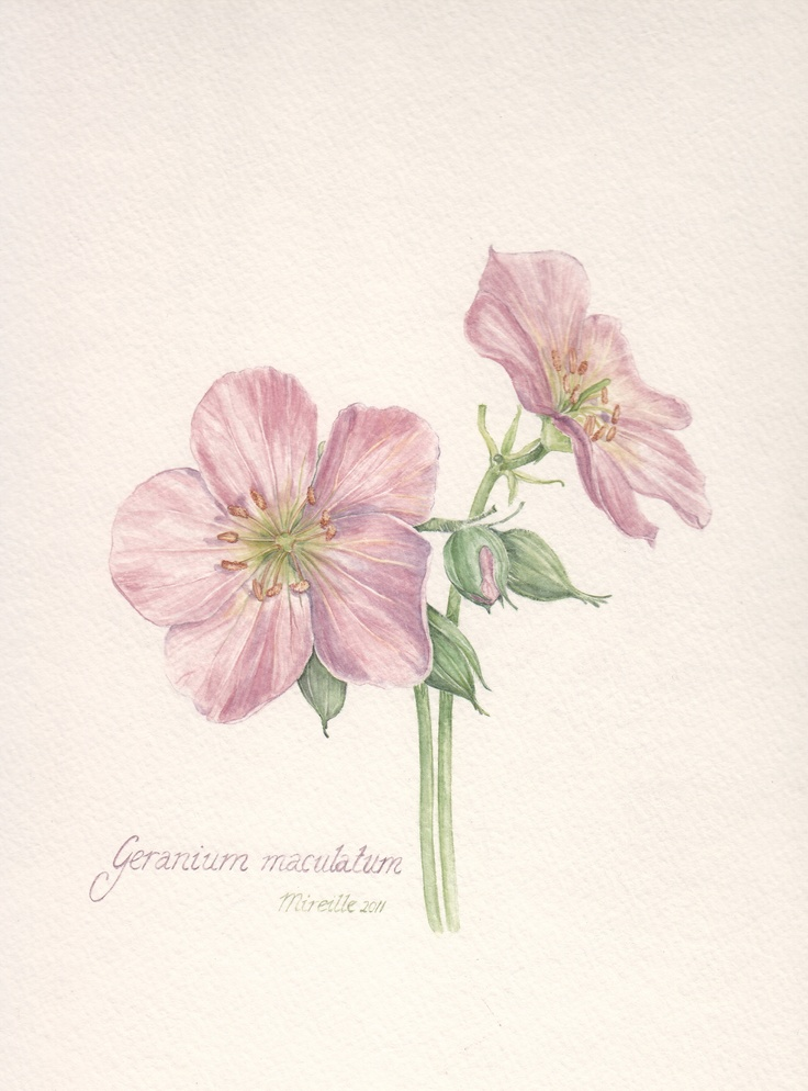Wild Geranium, watercolor by Mireille Belajonas, 2011