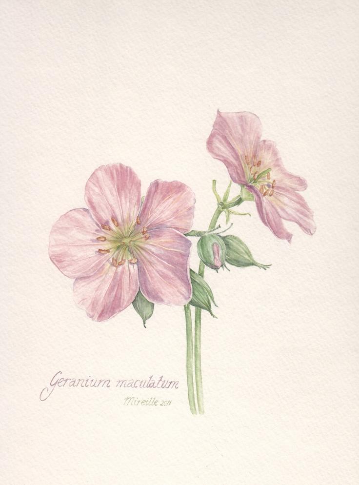 Wild Geranium, watercolor by Mireille Belajonas, 2011