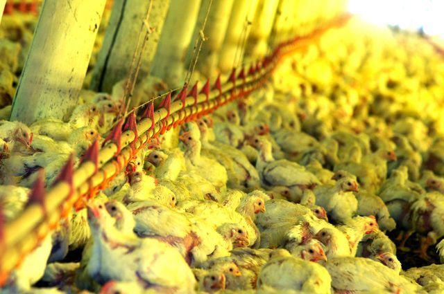 Este artículo explica cómo funciona una granja industrial en los Estados Unidos. Aprende sobre su estructura, los subsidios que recibe y el efecto que tiene para la comunidad.