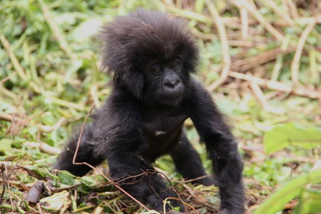 Born last October, this baby mountain gorilla of the Pablo family group was one of 18 gorillas named at this year's #KwitaIzina: http://www.awf.org/news/baby-mountain-gorillas-named-kwita-izina-ceremony