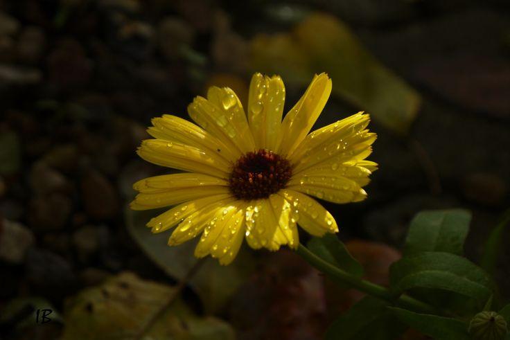 Galbenul meu / My yellow