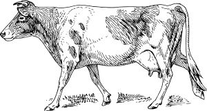 Guernsey cow by @papapishu, This image was donated by Pearson Scott Foresman, an educational publisher, to Wikimedia Commons, and is thereby in the Public Domain.---See http://commons.wikimedia.org/wiki/Category:Pearson_Scott_Foresman_publisher