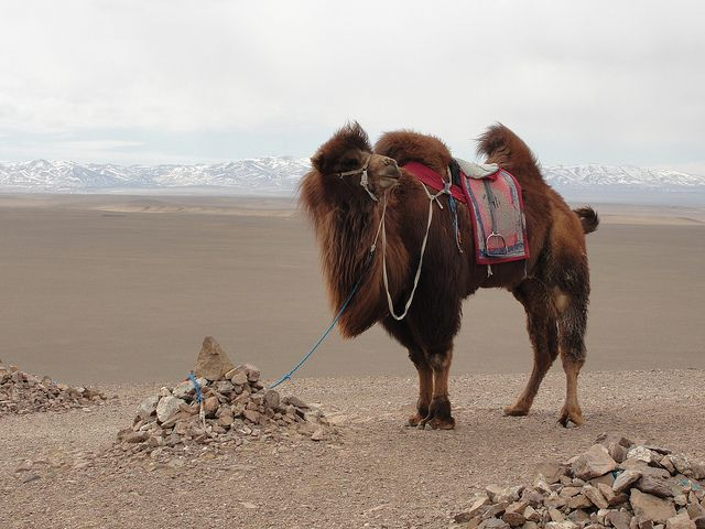 Bactrian Camel, Mongolia by jjangum: Greatcoat! #Camel