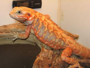 Ethics of Breeding 'Silkie' Silkback Bearded Dragons