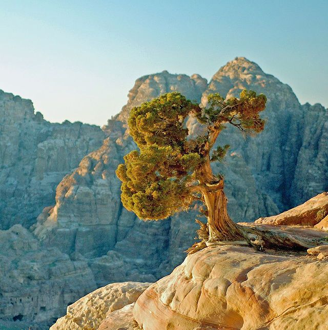 Juniperus phoenicea Petra - Foinikiankataja – Wikipedia