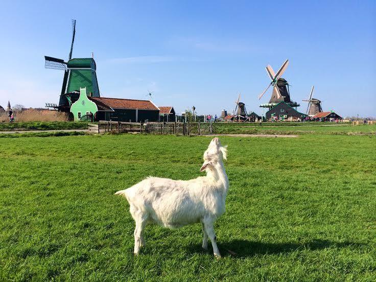 オランダ発の春便り!かわいい風車村『ザーンセ スカンス』 | オランダ | Travel.jp[たびねす]