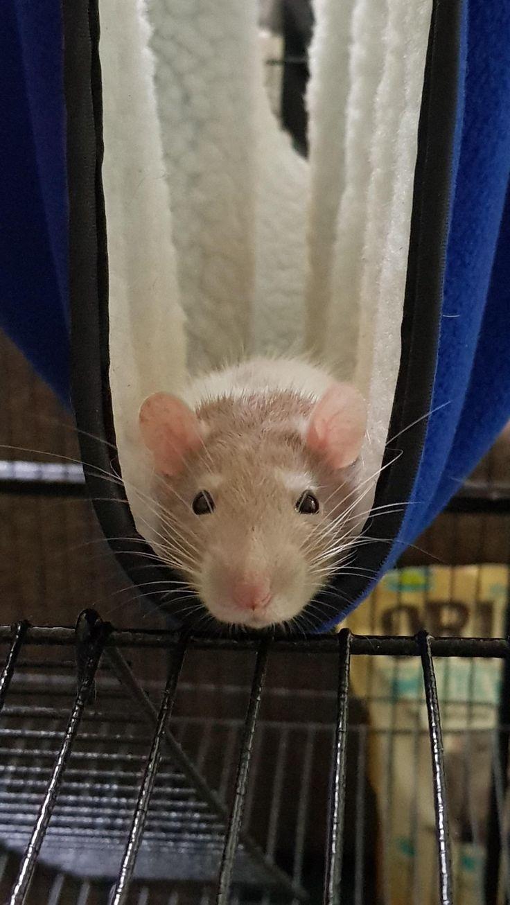 Морская крыса картинка