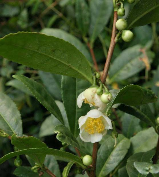 Grow your own tea bush.  The Tea Bush is originally from Asia and closely related to the Camellia, as you can probably tell by the name. And like the Camellia, it is a pretty bush with fragrant white flowers and waxy green leaves. It takes well to pruning, can be grown as a hedge, and can get 10-15 feet tall. Best of all, this plant works in light shade, so it is a good way to add an edible plant to a shady spot.