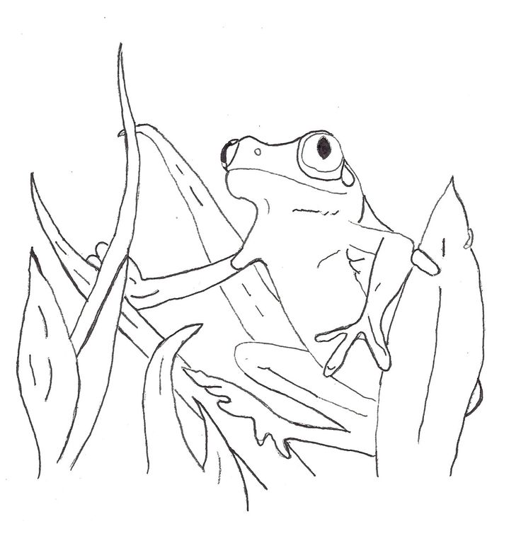 Red Eyed Tree Frog Coloring Page Educations