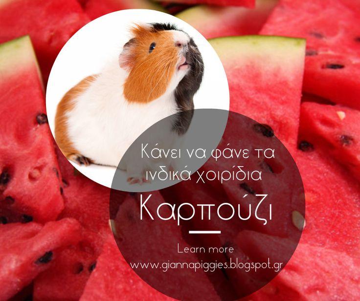 Can guinea pigs eat watermelon? Κάνει να φάνε τα ινδικά χοιρίδια καρπούζι? Learn more www.giannapiggies.blogspot.gr